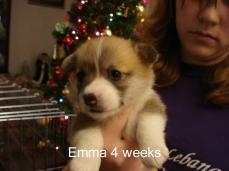 Jamie Iris puppies 4 weeks-01