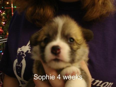Jamie Iris puppies 4 weeks-10