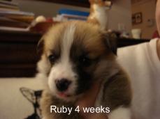 Jamie Iris puppies 4 weeks-24