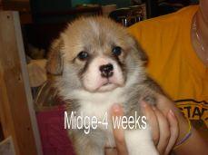 Midge-1